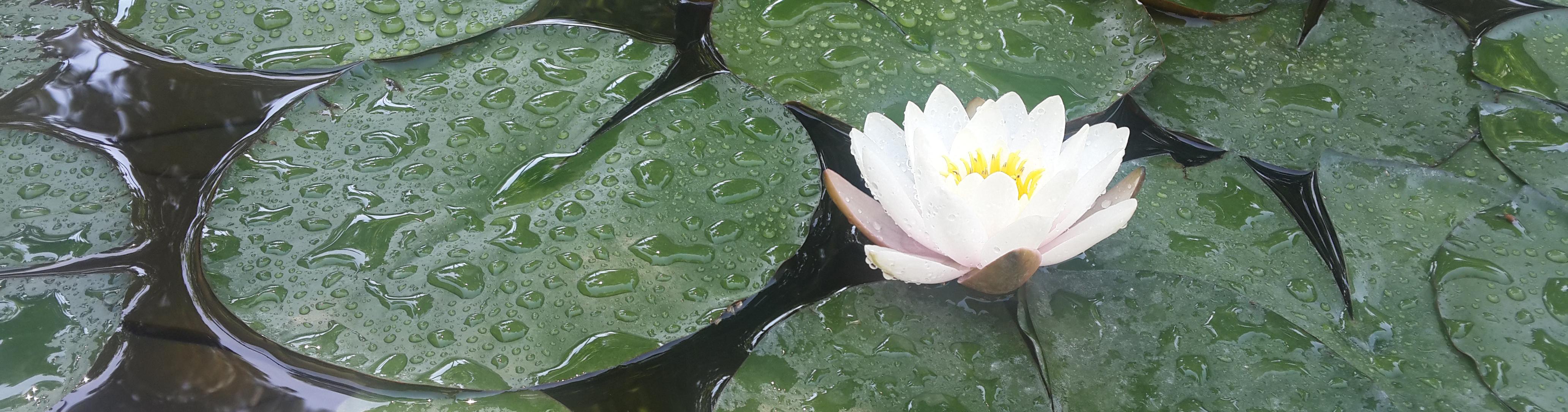 نیلوفرهای آبی، باغ نگارستان، بهار 97